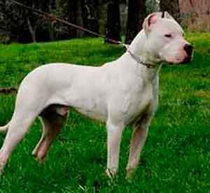 seguro perro dogo argentino